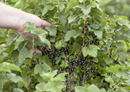 Motivation to adhere to exercise may be improved by consumption of New Zealand blackcurrants